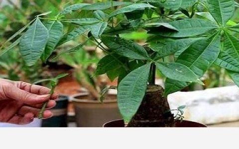 發財樹怎麼種