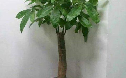 想要養好發財樹,學會「澆水」小技巧,根不爛,葉不黃,整年油綠