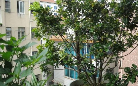 養花選「發財樹」,澆水不愁,擺在家寓意好!