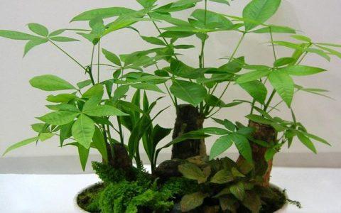 家庭盆栽發財樹該怎麼養護?教你4招,常年翠綠,不黃葉爛根!