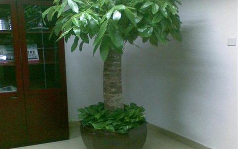 發財樹有這麼多種,真好看!發財樹怎麼養?