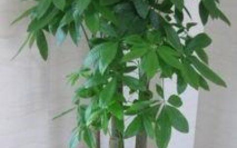 想要養好「發財樹」,掌握以下「要點」,葉色黑綠、枝幹粗還開花