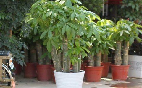 發財樹最愛喝這種「水」,澆一點在盆裡,黃葉沒有綠汪汪!