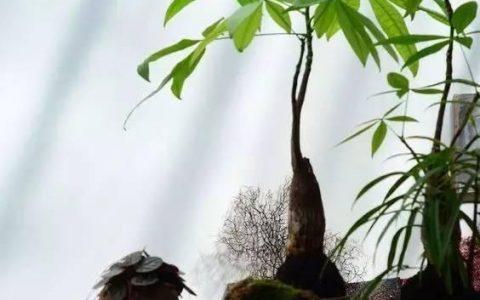 發財樹這樣養才是最完整的,小編吐血總結
