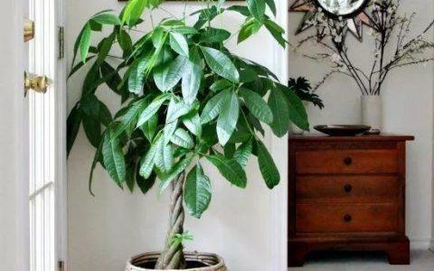 發財平安事事順,不如從養好一棵發財樹開始