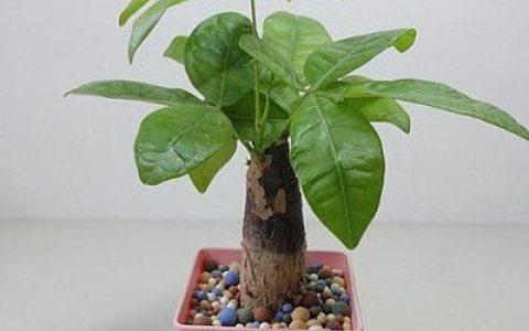 發財樹養護的幾條基本法則,看看你養對了嗎?