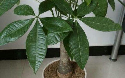 養發財樹一個小技巧,葉子又綠又亮,鬱鬱蔥蔥、茂盛漂亮