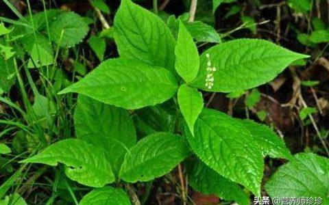 山上一種植物,葉有4片,外形像瓦,現在才知道它的價值,瞭解下