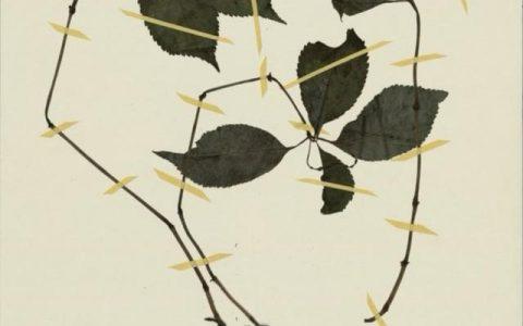 戶外有毒植物科普:多穗金粟蘭