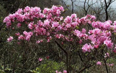 寧波北侖映山紅大面積開花!春色正濃,賞花趁早