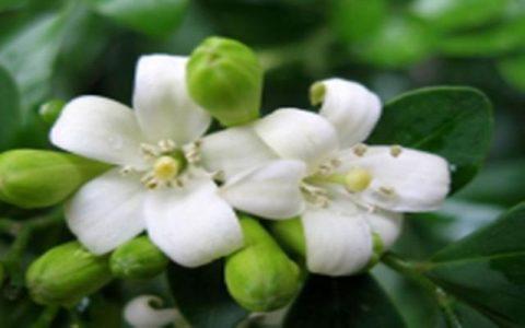 這種花叫做金粟蘭,每年花朵開放以後,還可以用來泡茶喝