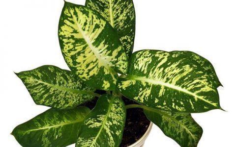 花葉萬年青、杜鵑等,這些常見「有毒」植物,室內養護要謹慎