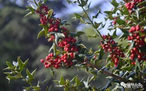 園林耐陰藥用植物大全,苗木套種必知!