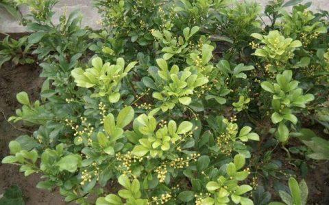 冬季養護「米蘭花」,做到「4點」,植株耐寒能力強,不怕冷