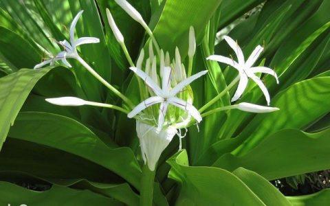 大神家的珠蘭這樣養,年年開花壓彎枝條,滿院幽香如建蘭開