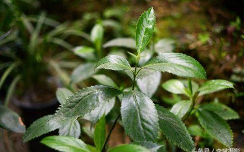 腫節風是預防腫瘤以及多種病痛的神奇植物用它泡茶喝口感香醇哪類人群需禁用