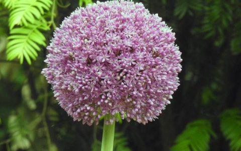 紅五月的上海植物園到底有多少大花蔥之類的花等著你呢