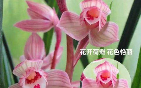青未了|我心中的蘭花