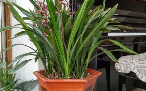 養蘭花,有技巧,4個「基本」不能少,根系健康,花箭竄的高