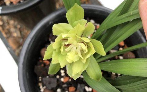 蘭花把香味當禮物饋贈,養蘭人一日看三回,希望花開得早