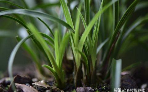 蘭花怎麼施肥?簡單實用的4種方法,養好蘭花不再難
