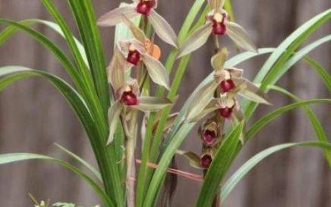 養蘭花選對品種,一年365天都可以賞花,不需要再養其他花