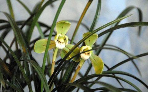 蘭花圖譜:人間驚艷,50種絕美的中國野生蘭花圖鑑