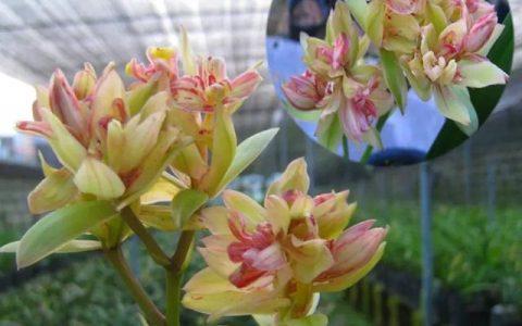 6種蘭花,一開花香飄滿屋,越養越值錢!